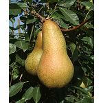 Fotografia de La DOP �Peras de Rinc�n de Soto� y la SAT �Valle de Rinc�n� ultiman el proyecto europeo �Fruitgrading�