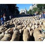 Foto de M�s de 2.000 cabezas de ganado participan en la Fiesta de la Trashumancia que reivindica la actividad pastoril y ganadera