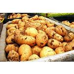 Picture of La producci�n italiana de patatas aumenta un 20%