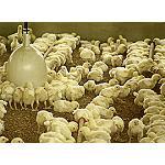 Foto de El sector av�cola pide ampliar los acuerdos con pa�ses terceros y dejar de utilizar el pollo como producto reclamo