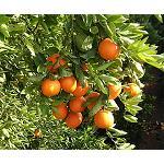 Foto de Cambios en el transcriptoma de frutos de naranja Navelate en respuesta a estr�s h�drico generado por cambios bruscos de humedad durante la poscosecha