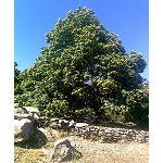 Foto de Crean una Norma Nacional de clasificaci�n estructural para madera aserrada de casta�o