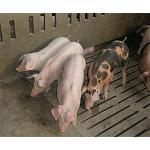 Foto de La conservaci�n de las razas porcinas aut�ctonas, clave para preservar la industria tradicional seg�n el proyecto Qubic