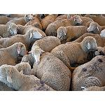 Foto de Zootecnia Signet incorpora nuevas tecnolog�as en el escaneado de canal ovina y vacuna