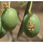 Foto de Insufese abona m�s de 1,6 M a las cooperativas olivareras para atender la falta de producci�n
