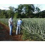 Picture of Sephu Proposes Fulvita-40 in the crop of the tropical pineapple