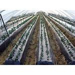 Picture of A team of the UCO tests new forms to reduce the footprint h�drica of the strawberry