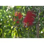 Picture of Effect of the irrigation deficitario moderate and severe in the tax of growth, radical morphology, transpiration and relations h�dricas in plants of Callistemon citrinus