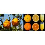 Picture of Researchers of the CSIC obtain oranges richer in antioxidants