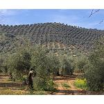 Picture of Influence of the characteristics of the new plantations of olive grove in his recolecci�n