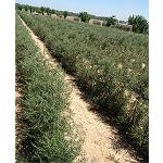Picture of I handle of the irrigation and the poda in plantations of olive grove in fence