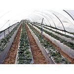 Fotografia de Hacia el riego de precisi�n en el cultivo de la fresa