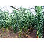 Picture of Sistema de apoyo a la toma de decisiones basado en el modelo VegSyst para calcular la [N] en fertirriego en tomate de invernadero