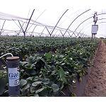 Fotografia de Optimizaci�n de la fertirrigaci�n del cultivo del fres�n en el entorno de Do�ana: eficiencia en el uso del abonado en relaci�n a la eficiencia del riego