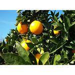 Fotografia de La fertilizaci�n con nitrato de pot�sico y el uso de fertilizantes de liberaci�n controlada aumenta la producci�n en c�tricos tipo clementina