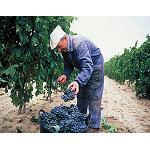 Foto de El Consejo Regulador de la DOCa Rioja aprueba las �Normas de Campa�a� para la vendimia 2014