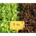 Foto de Influencia de la salinidad de la soluci�n nutritiva en la calidad y producci�n de dos cultivares de lechuga baby leaf