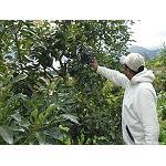 Foto de Se autoriza el uso de materias activas contra plagas en aguacate y mango