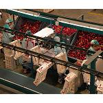 Fotografia de Scholar irrumpe como soluci�n para incrementar la exportaci�n de fruta de hueso