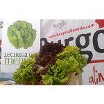 Fotografia de Lechuga de Medina ampara ahora tambi�n la variedad Hoja de Roble
