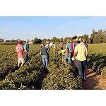 Foto de Syngenta muestra en campo sus variedades para tomate industria que completan su potente oferta global para este sector