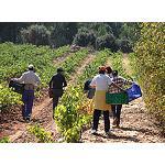 Foto de Los agricultores afrontan la vendimia con los precios m�s bajos en 25 a�os