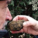 Foto de Neiker y la Asociaci�n de la Trufa Negra de �lava promueven el cultivo y la mejora de la calidad de este apreciado hongo