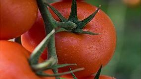 Fotografia de Ateneo, el nuevo tomate ramo de Semillas Fit�