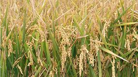 Foto de Greenrice, sistemas sostenibles de cultivo de arroz