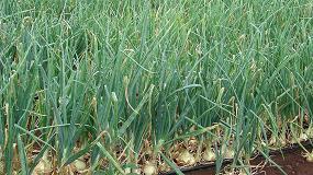 Foto de La androesterilidad en cebolla (Allium cepa L.)
