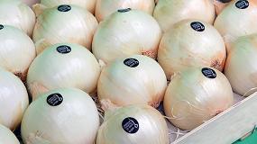 Fotografia de LA D.O.P. Cebolla Fuentes de Ebro ya se puede encontrar en las tiendas y prev� una cosecha de 5 millones de kg