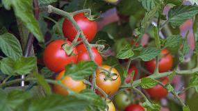 Picture of C�mo proteger al cultivo de los golpes de calor