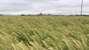 Foto de Las 6.000 hectáreas de cebada híbrida Hyvido sembradas en el norte de España producen un 21% más de media que las variedades convencionales