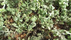 Foto de Proyecto Cerno en cultivos hortícolas: ejemplo del resultado obtenido en sandía