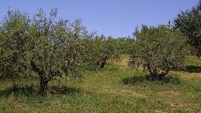 Foto de Cajamar y Dcoop ayudan a los olivareros andaluces a combatir la Xylella fastidiosa