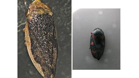 Foto de Xylella fastidiosa, una potencial amenaza para muchos cultivos