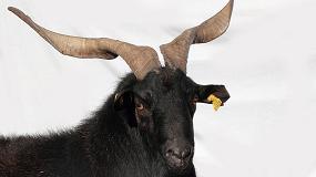 Fotografia de El MAGRAMA autoriza el uso del logotipo �Raza Aut�ctona� a la Asociaci�n extreme�a de criadores de caprino de raza Verata