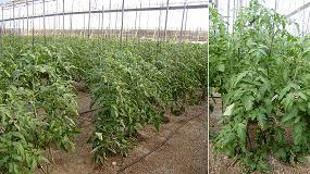 Foto de Evaluación de la eficacia de Brotone en el incremento de producción en un cultivo de tomate tipo 'Marmande'