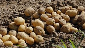 Foto de Aprobada la modificación del reglamento técnico de control y certificación de la patata de siembra