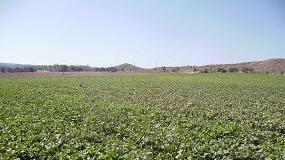 Foto de Evaluación de Politec para la mejora del cuajado y rendimiento en el cultivo de melón amarillo