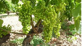 Foto de Nueva estrategia de control biológico de la podredumbre de la uva