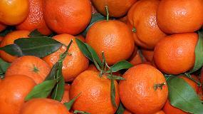 Foto de Evaluación de Actium para la mejora del color en el cultivo de clementina (Citrus clementina var. Oronules.)