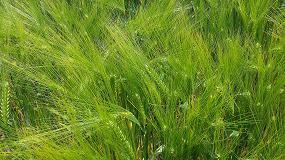 Foto de La cebada híbrida se convierte en cultivo de referencia en la Unión Europea