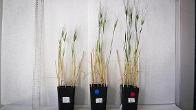Picture of Aumentan la producci�n de trigo en un 25% con la adicci�n de biocarb�n elaborado con residuos de poda de olivo