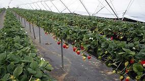 Foto de Projar consolida su posición en el mercado de los berries con implantación en España, Marruecos, México y Portugal