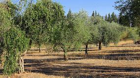 Foto de Genes que marcan el tamaño de la copa del olivo