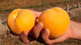 Foto de El IRTA expone el 28 de julio las variedades de melocotón y nectarina