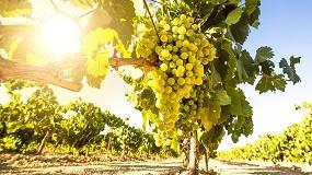 Foto de Visión avanzada para el control de la calidad de la uva
