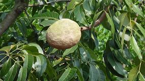 Fotografia de Investigadores de la UCA aplican un modelo matem�tico para obtener compuestos antioxidantes del mango
