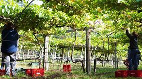 Foto de La DO Rias Baixas afronta con optimismo la vendimia 2016 por el excelente estado fitosanitario de la uva
